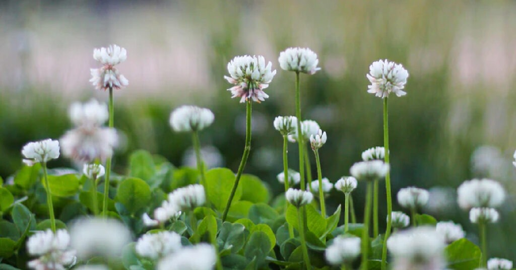 A close up view of white clover.