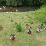 Ducks on the grass by a lake
